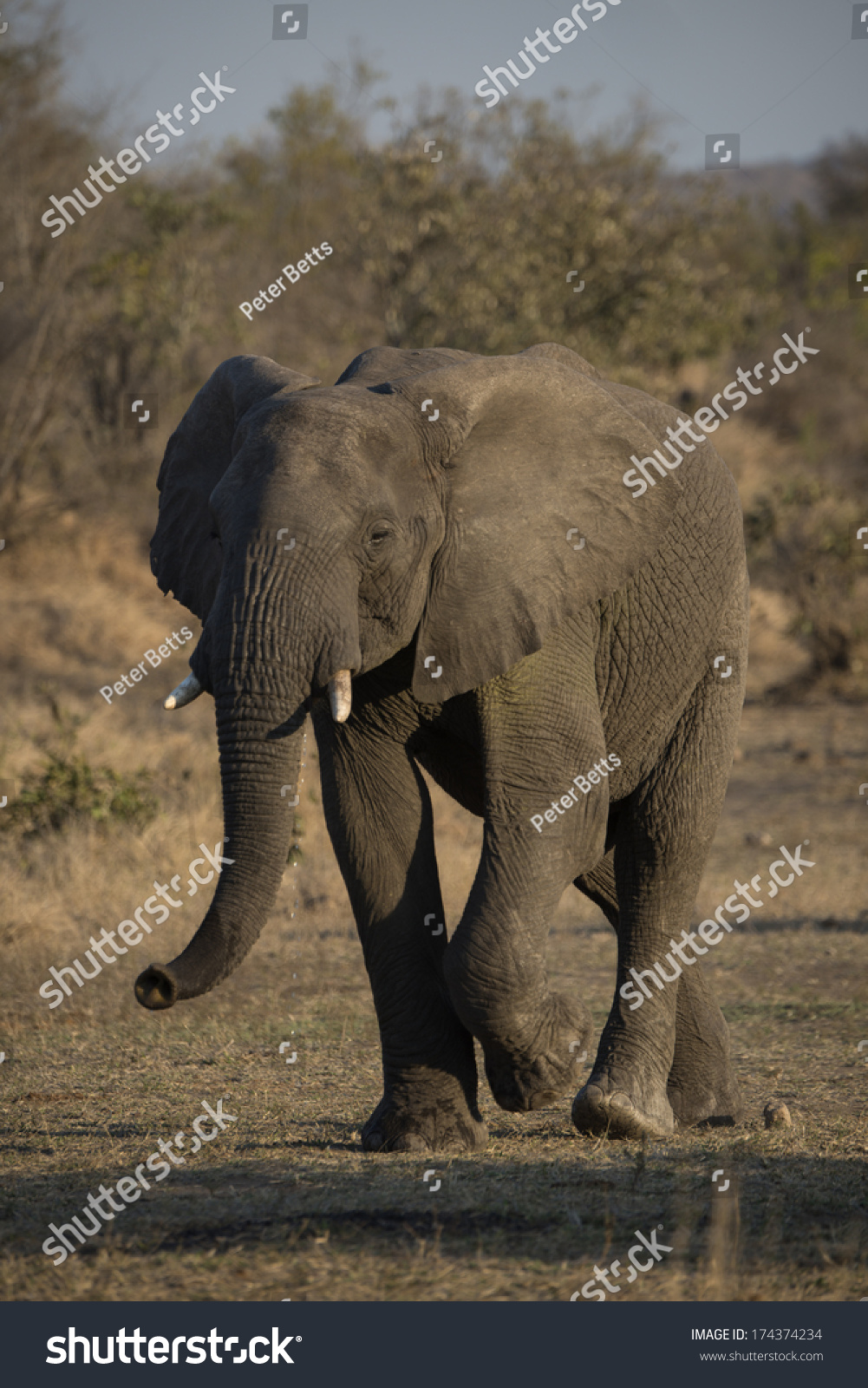 An Old Elephant Walks Past After A Drink Stock Photo 174374234 ...