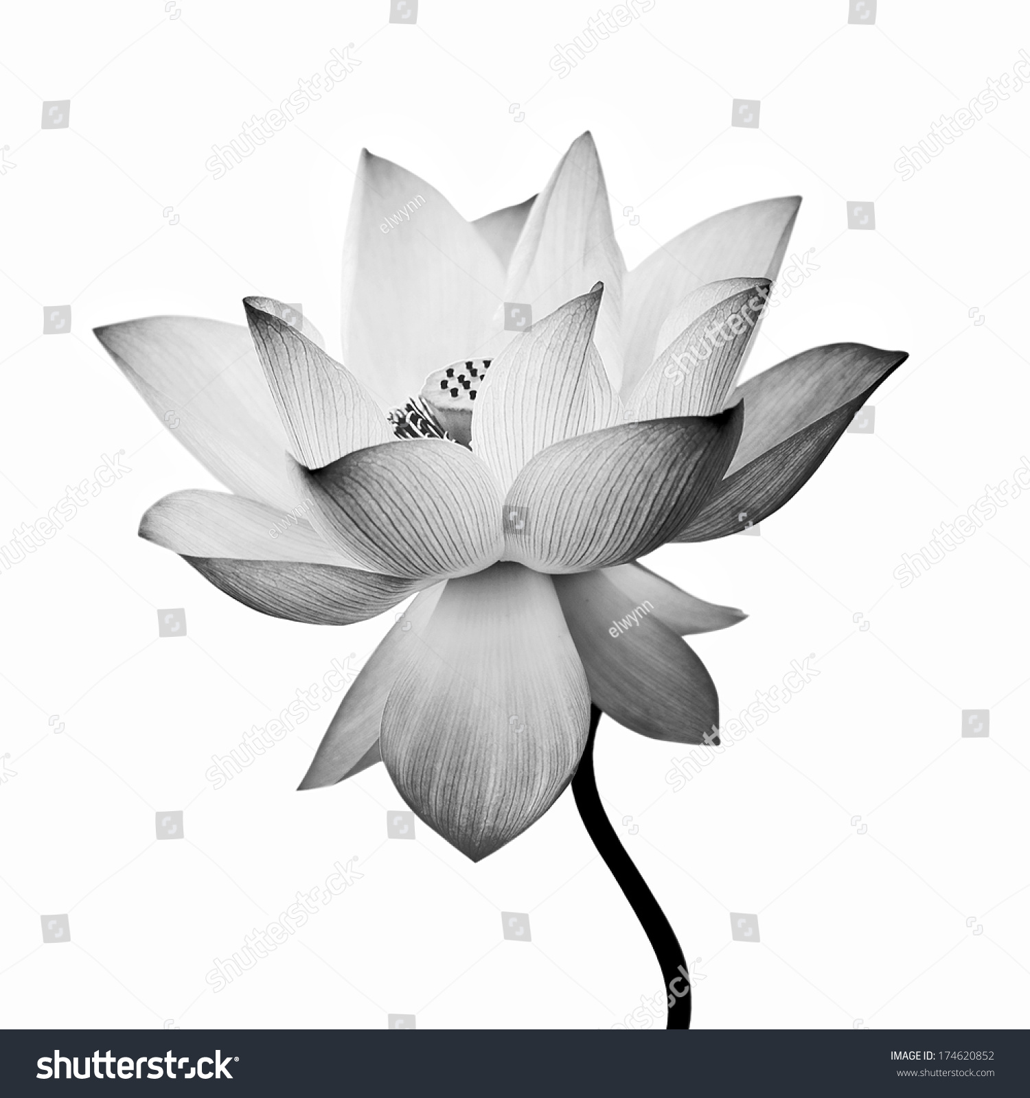 Lotus flower isolated on white background stock photo 174620852 lotus flower isolated on white background izmirmasajfo