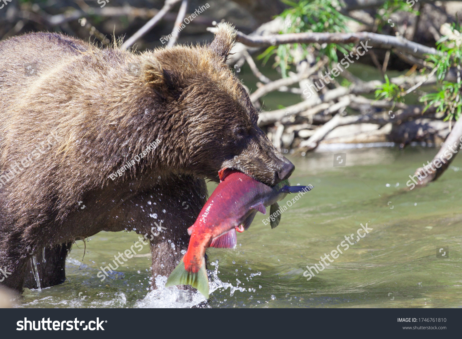 Face of a wild bear with fish close-up. The concept of bears hunting salmon during spawning.