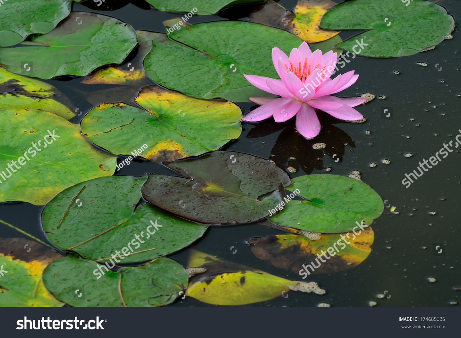 Fresh beautiful pink lotus flower growing stock photo edit now a fresh beautiful pink lotus flower growing among large green lilly pads after a summer shower izmirmasajfo