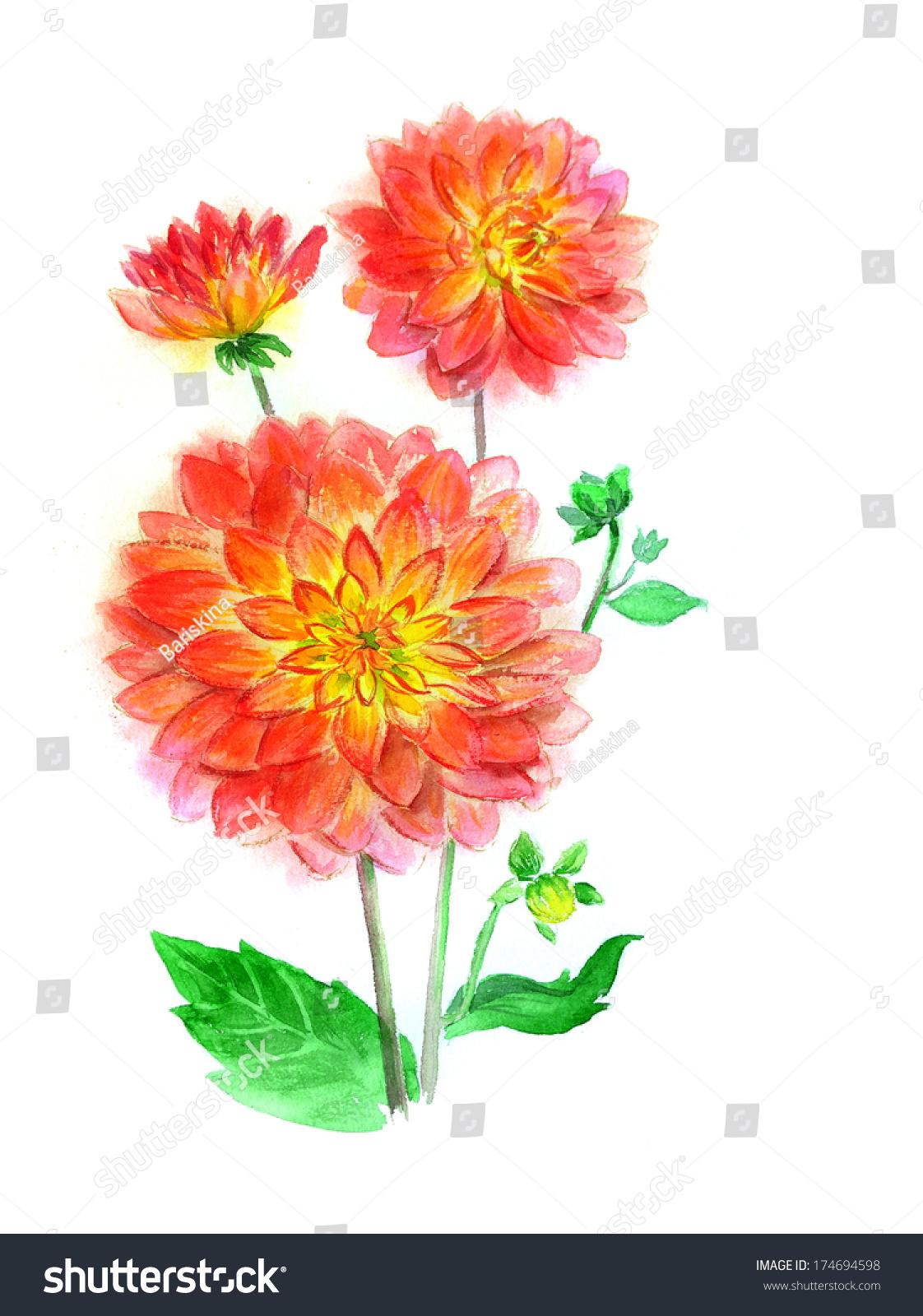 Dahlia Flower Drawing Watercolor Stock Illustration 174694598