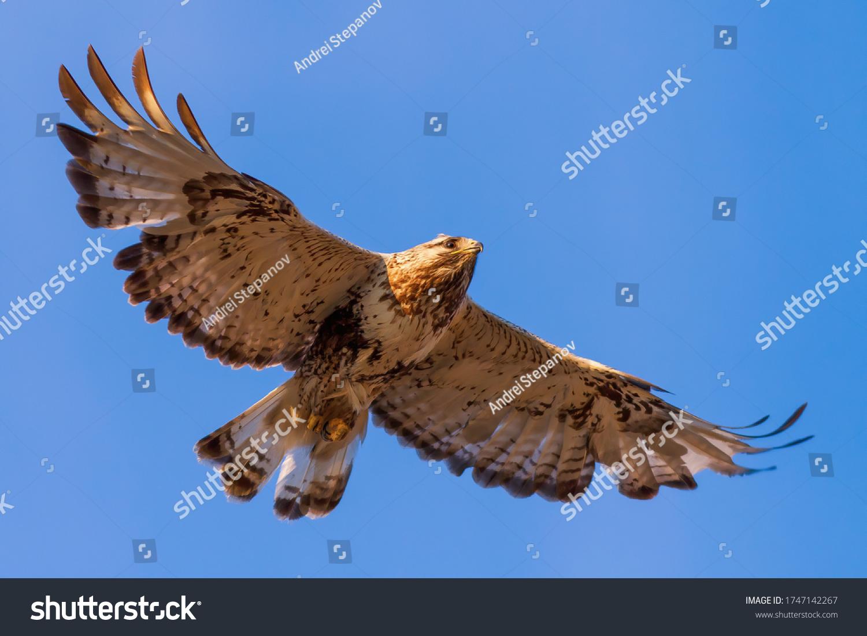 Rough-legged buzzard (Buteo lagopus). Buzzard soars in the sky. Beautiful flying big bird of prey. Wildlife of the Arctic. Chukotka, Far East of Russia. #1747142267