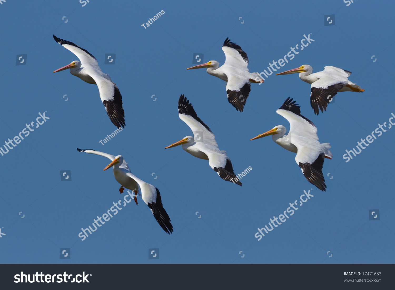 American White Pelicans; Pelicanus erythrorhynchos, flock, flying.