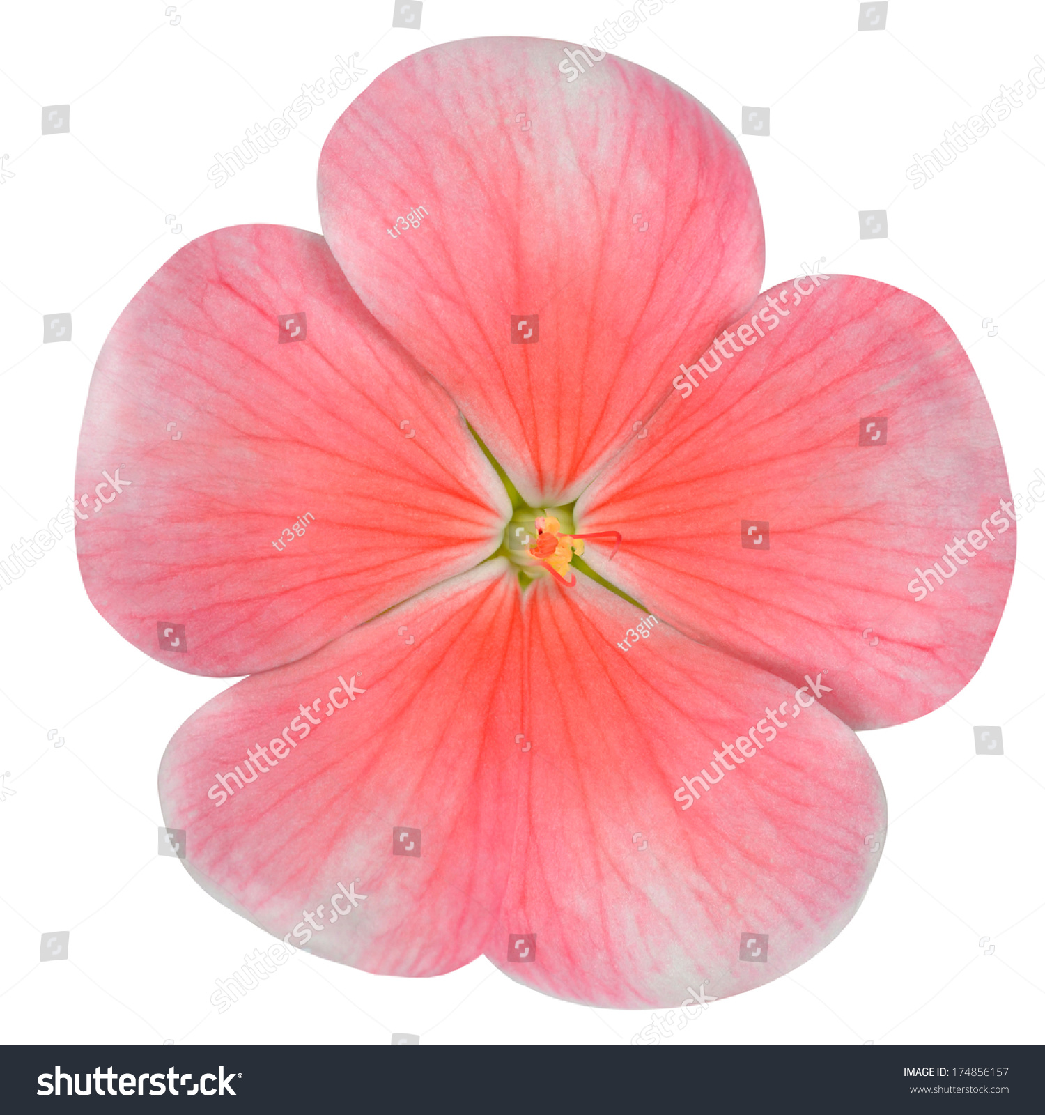 Pink Periwinkle Flower Red Center Vinca Stock Photo Royalty Free