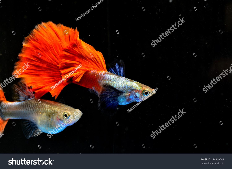 Beautiful Guppy Fish Isolated On Black Stock Photo (Royalty Free ...