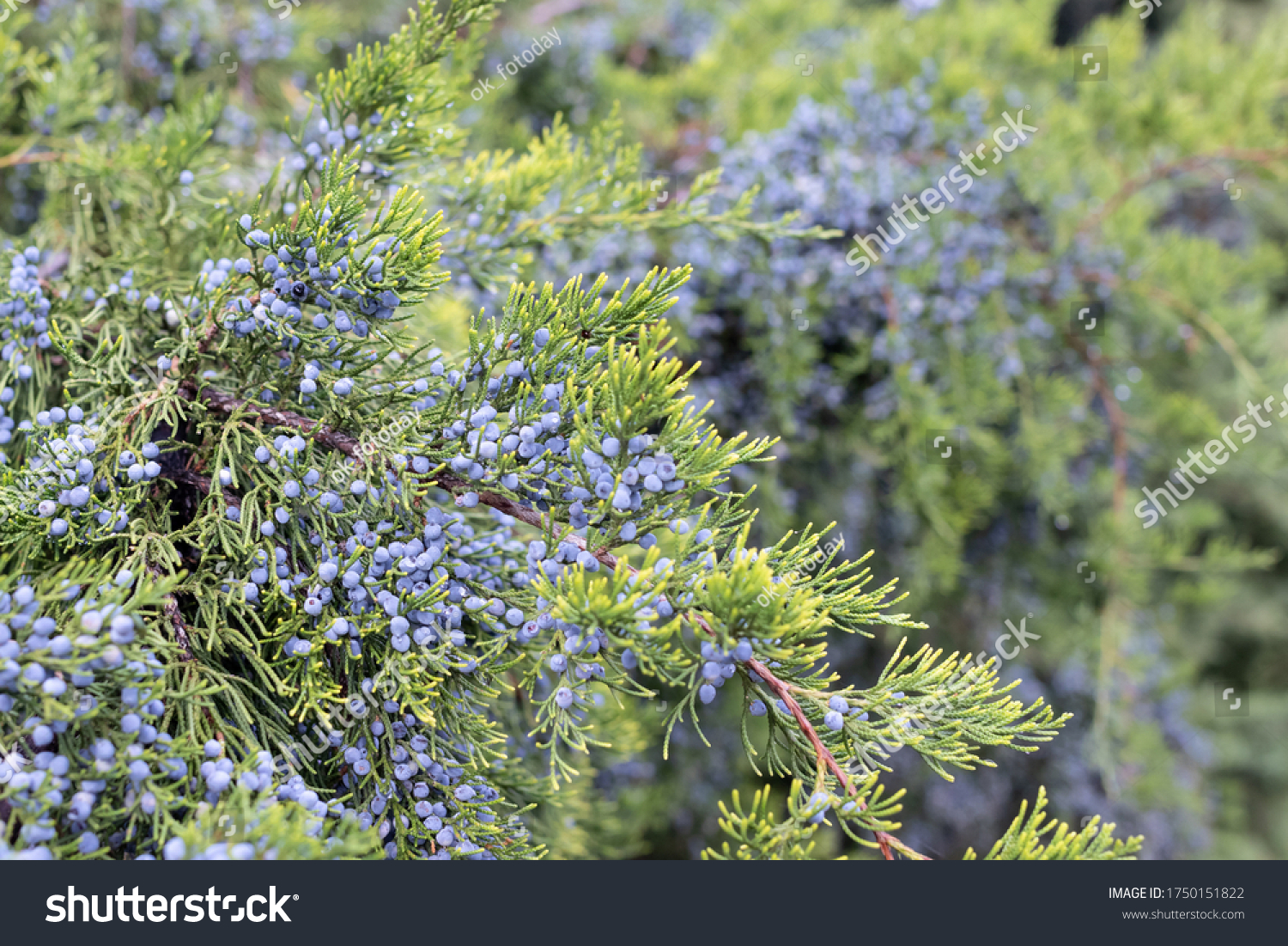 """Branch of """"Chinese juniper"""" is strewn with blue cones, obelisk, close-up"""