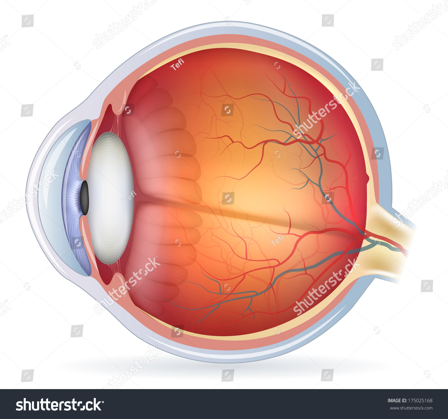 Human Eye Anatomy Diagram Medical Illustration Stock Vector (Royalty ...