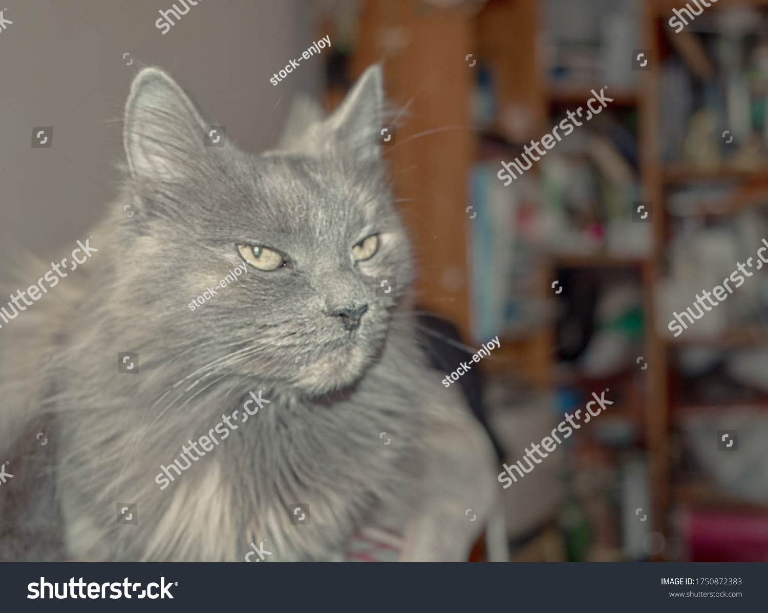 stock-photo-a-grey-cat-rests-on-an-desk-