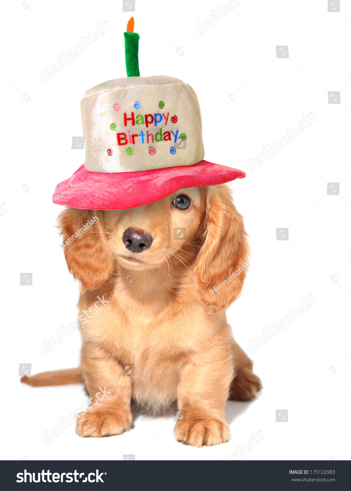 Miniature Dachshund Puppy Wearing A Happy Birthday Hat