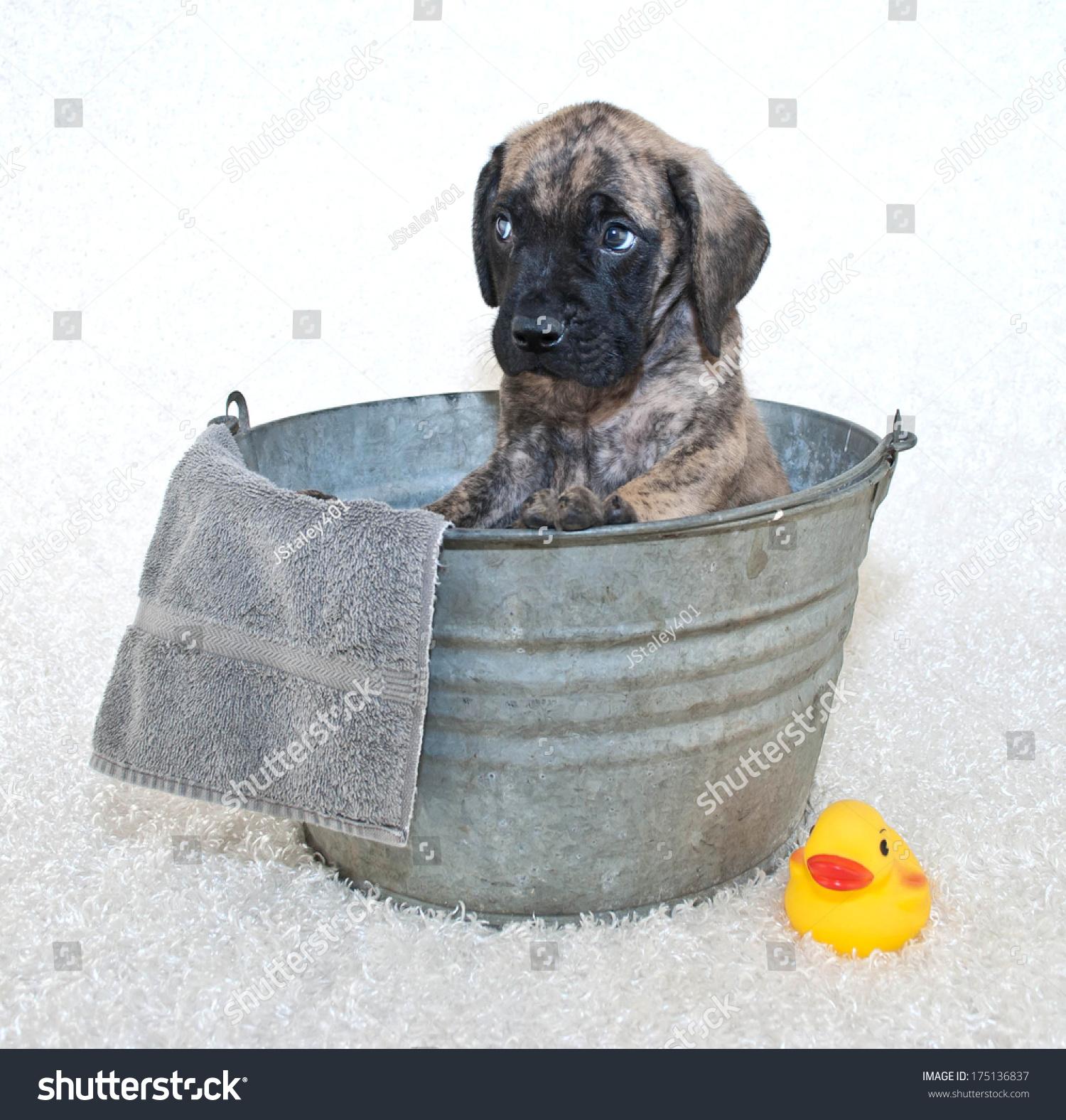 A Mastiff Puppy Giving A Sad Look While Sitting In A Bath