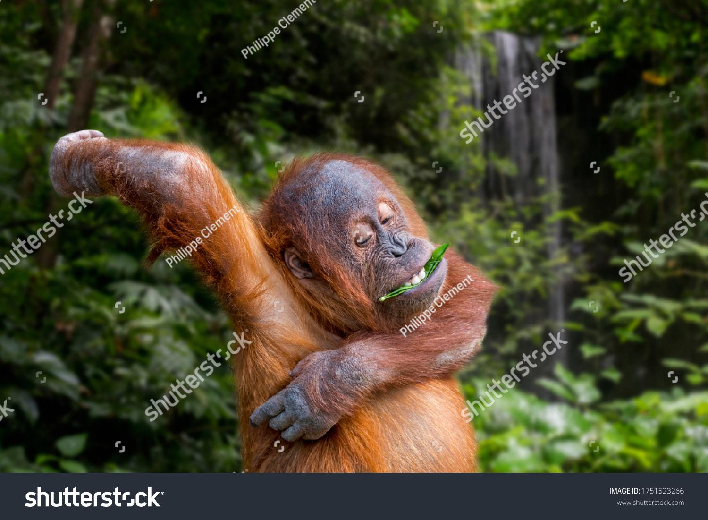 Young Sumatran orangutan (Pongo abelii) eating leaf while scratching itchy armpit, native to the Indonesian island of Sumatra