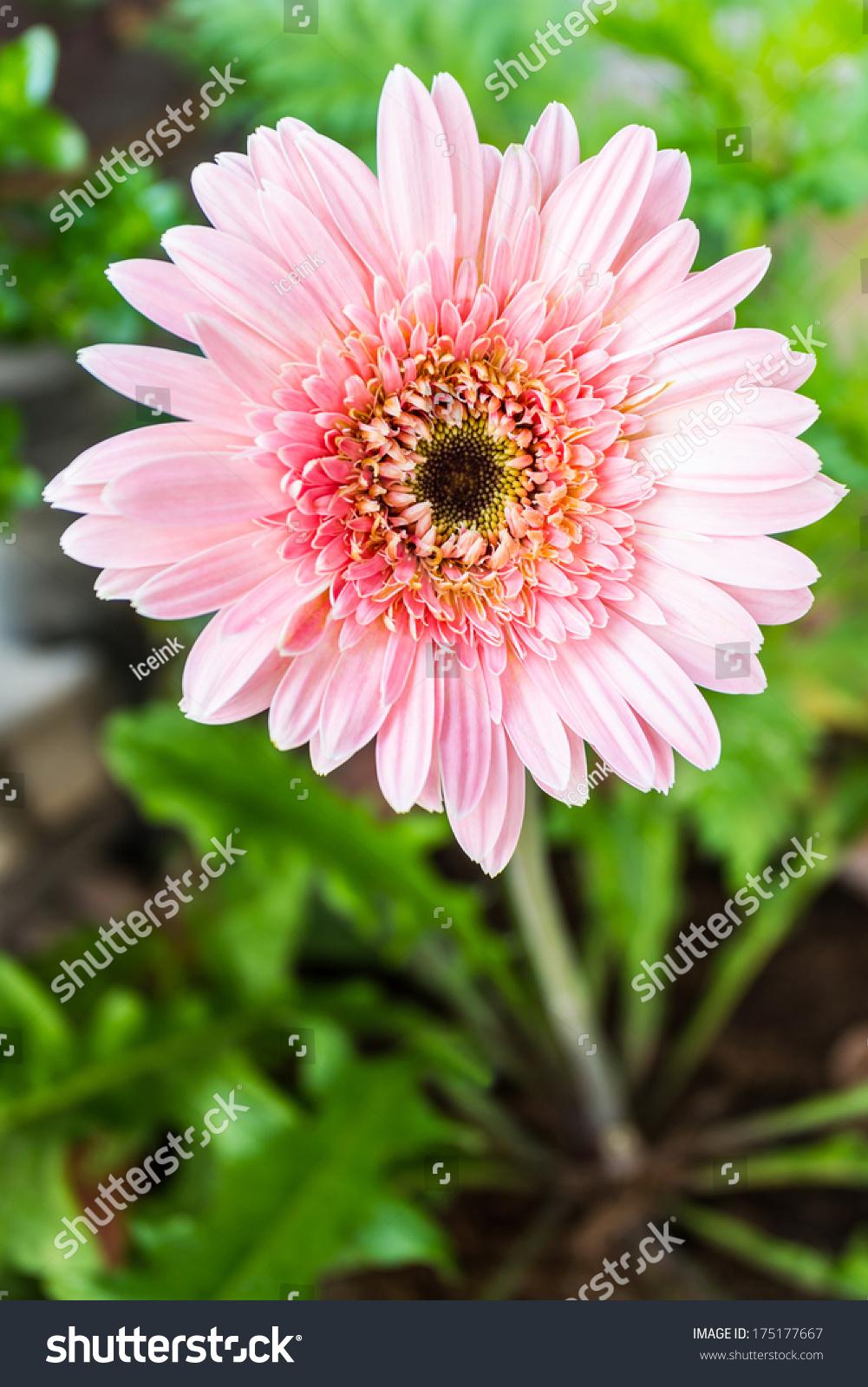 Closeup Of A Pink Gerbera Daisy Flower Ez Canvas