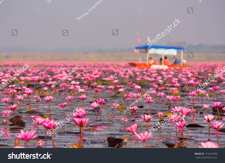 Kumphawapi Thailand  City new picture : Red Lotus In The Pond At Kumphawapi, Udonthani, Thailand Stock Photo ...