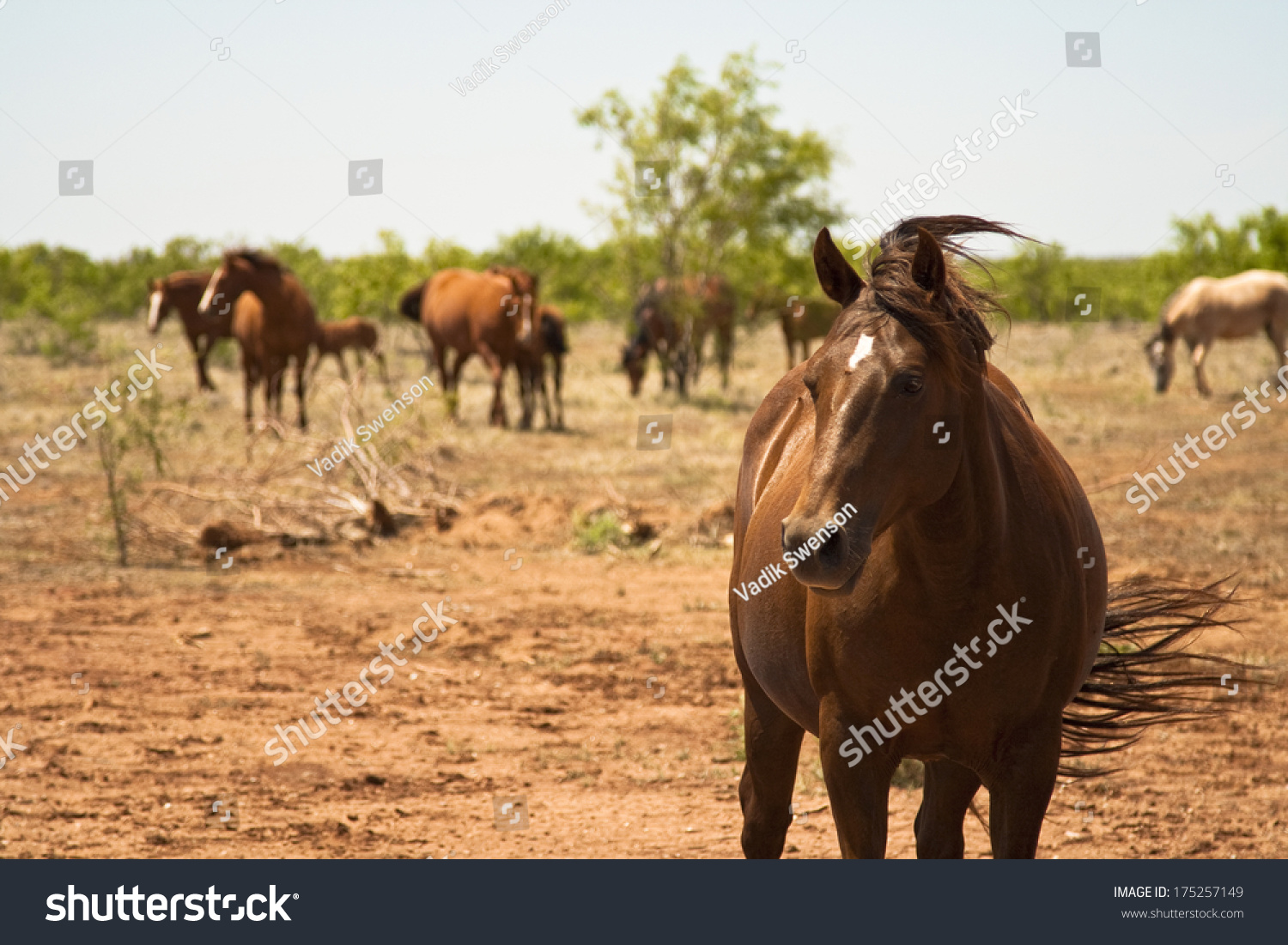 Single brown horse on texas ranch stock photo 175257149 for Single ranchers
