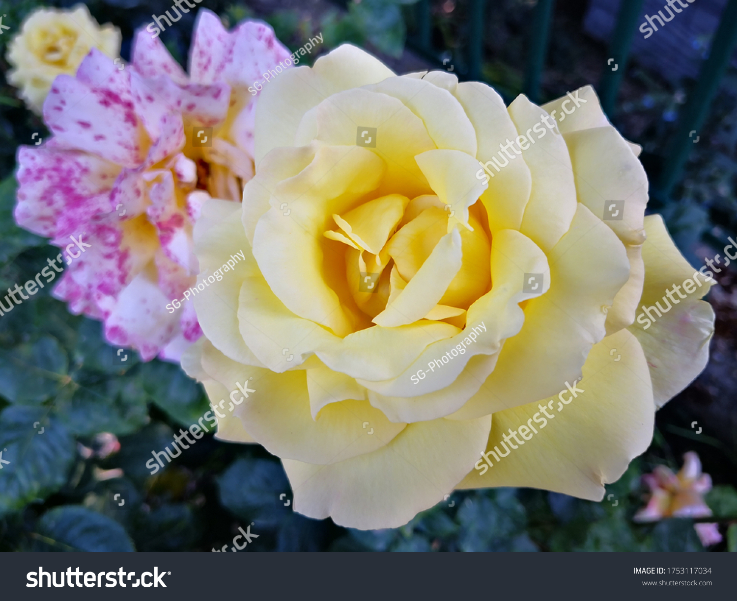 stock-photo-yellow-rose-in-the-garden-17