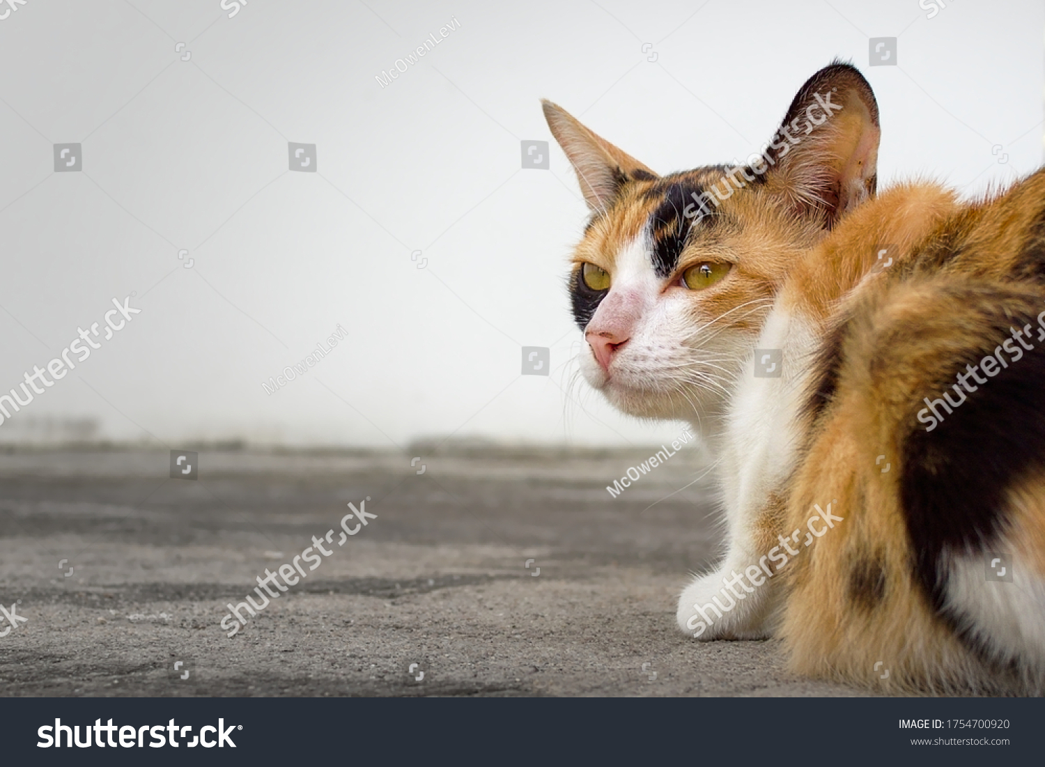 stock-photo-adorable-female-domestic-cat