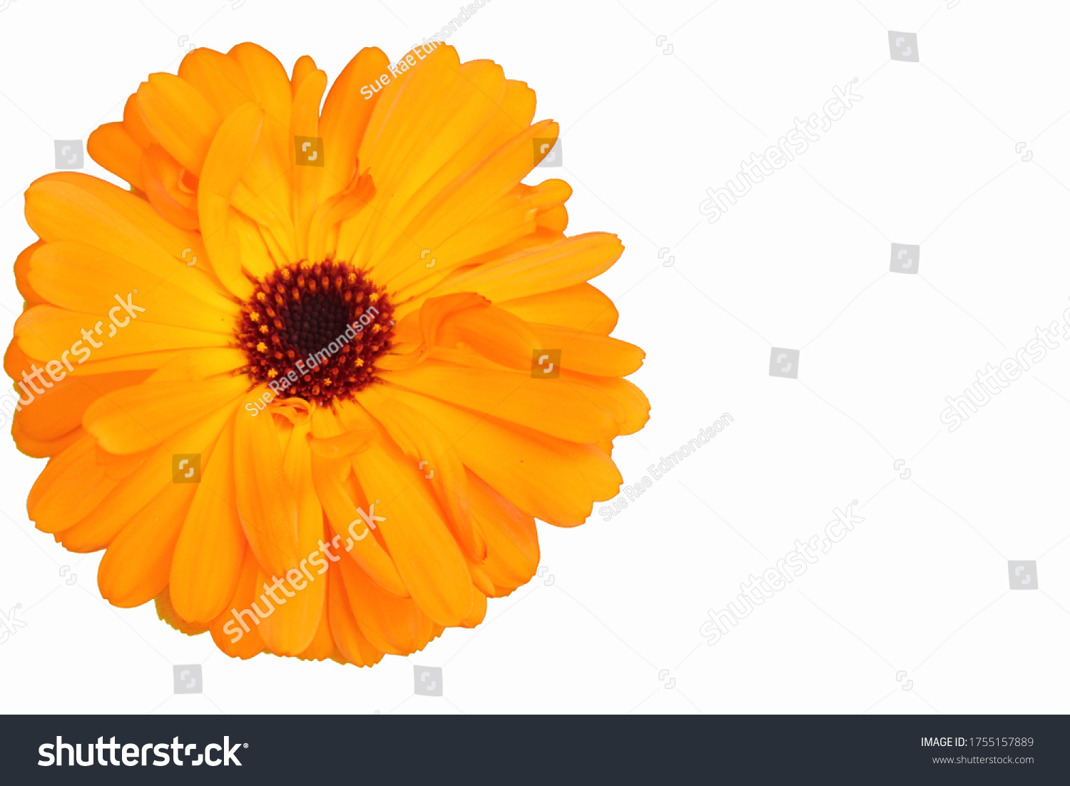 stock-photo-marigold-flower-head-calendu