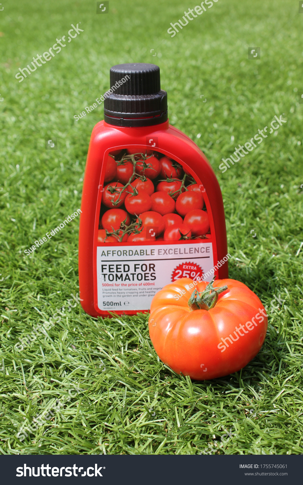 Up Holland, Lancashire, England 14/06/2020 Tomato feed and a large ripe tomato on a grass background