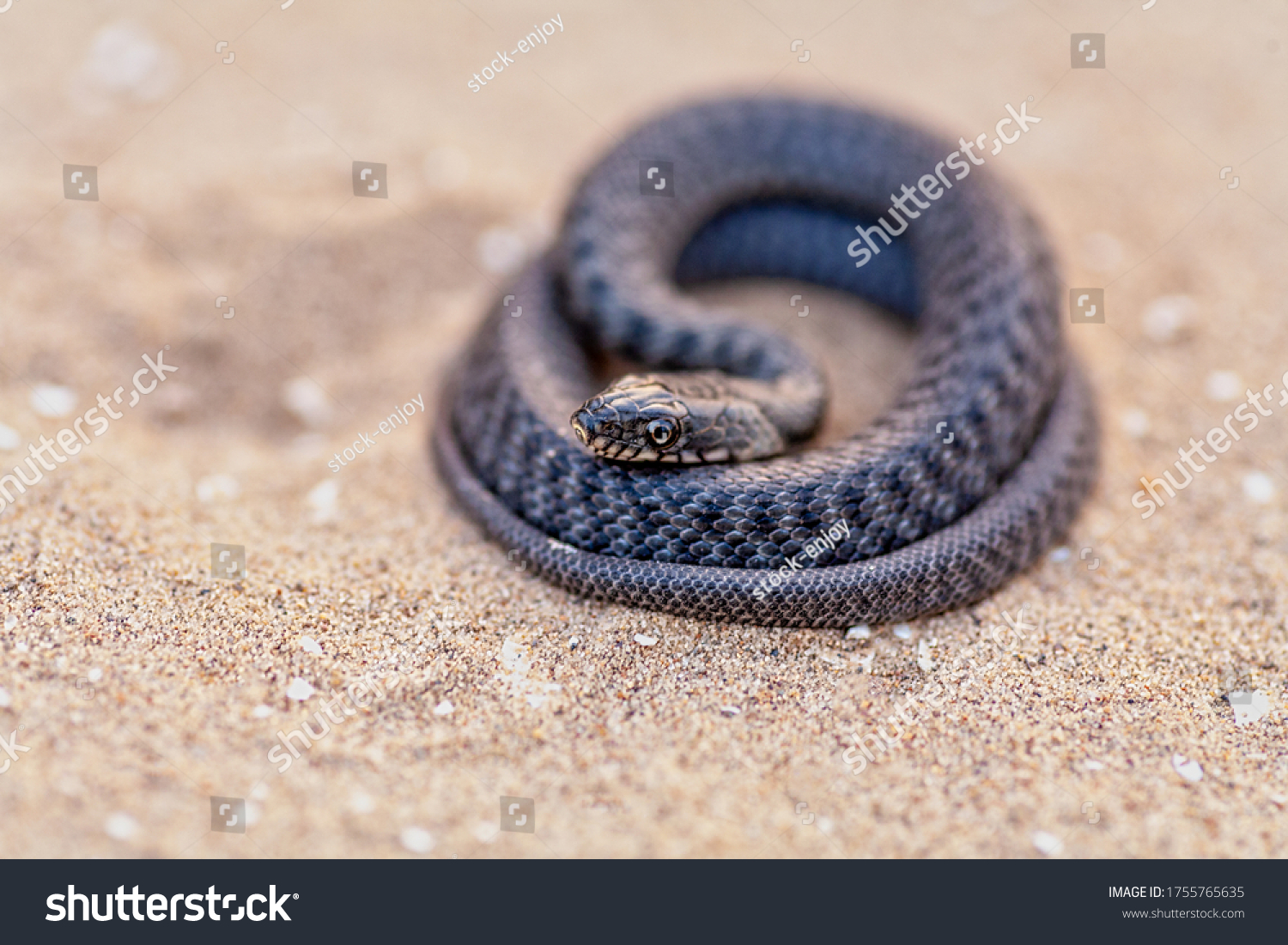 Snake is redy to attack in coils on sand, very shallow DOF, copyspace