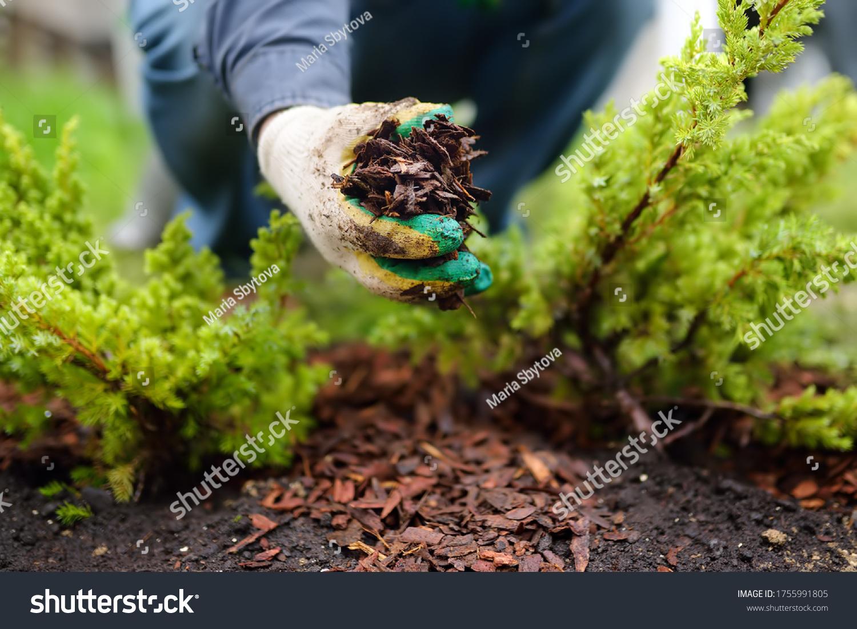 Gardener mulching with pine bark juniper plants in the yard. Seasonal works in the garden. Landscape design. Ornamental shrub juniper. #1755991805
