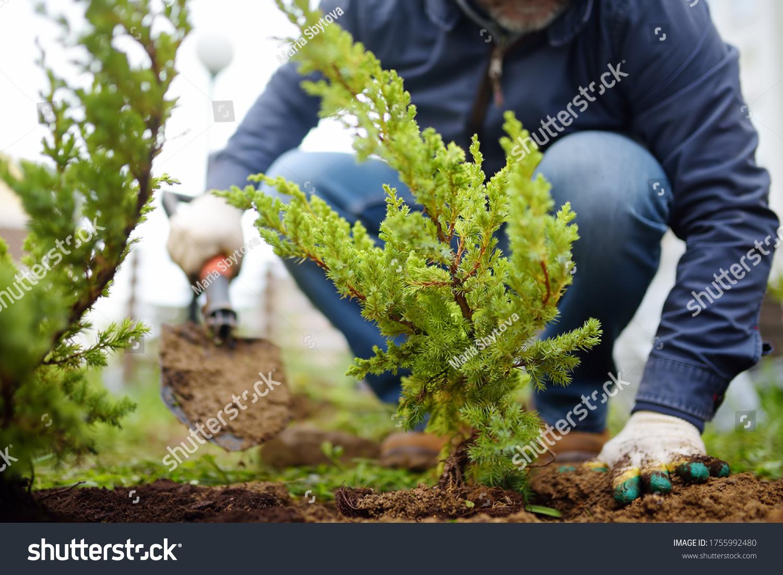 Gardener planting juniper plants in the yard. Seasonal works in the garden. Landscape design. landscaping. Ornamental shrub juniper. #1755992480