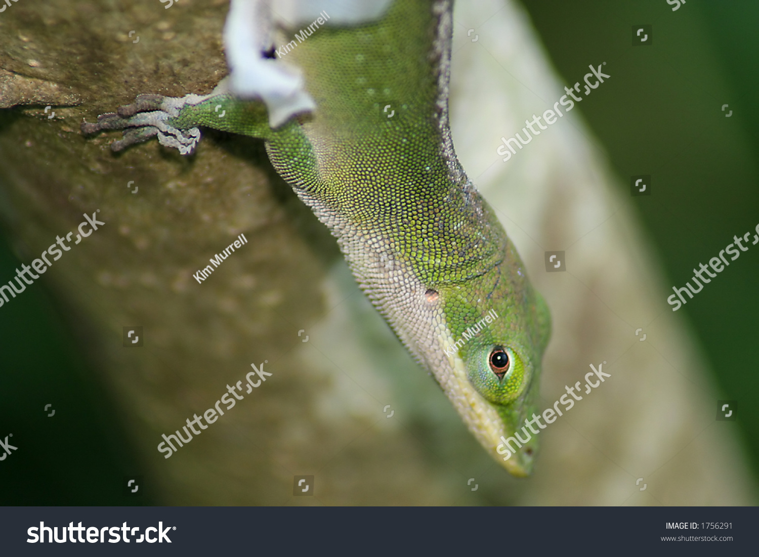 Anole Lizard Shedding It'S Skin Stock Photo 1756291 ...