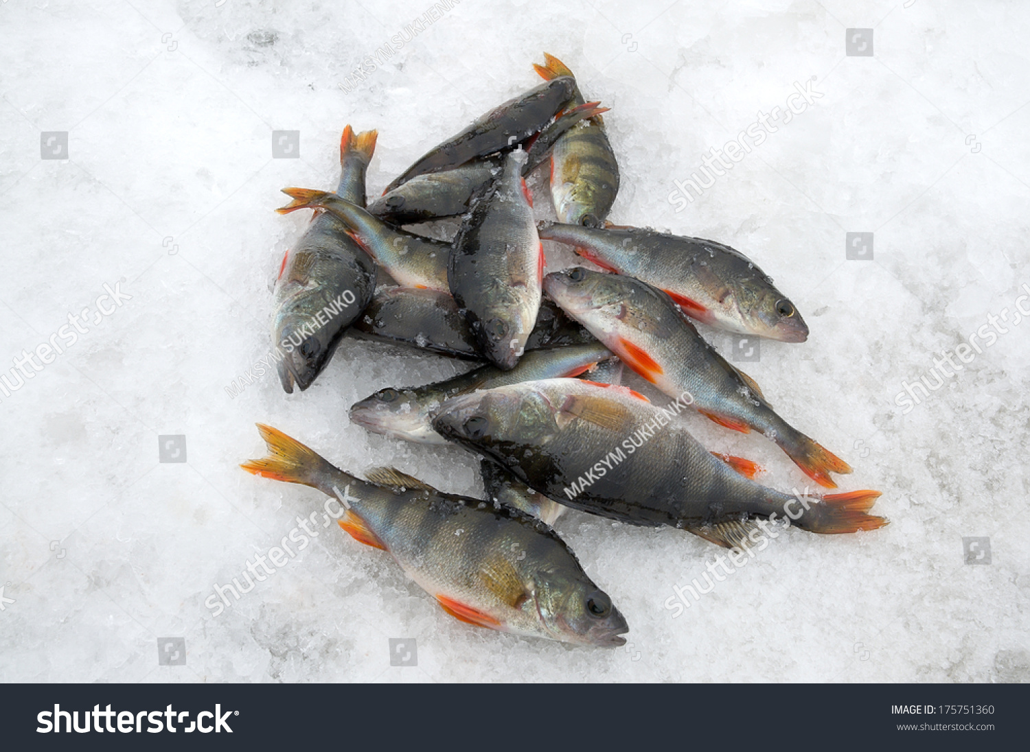 Ice Fishing Group Perch Caught Lying Stock Photo (Edit Now