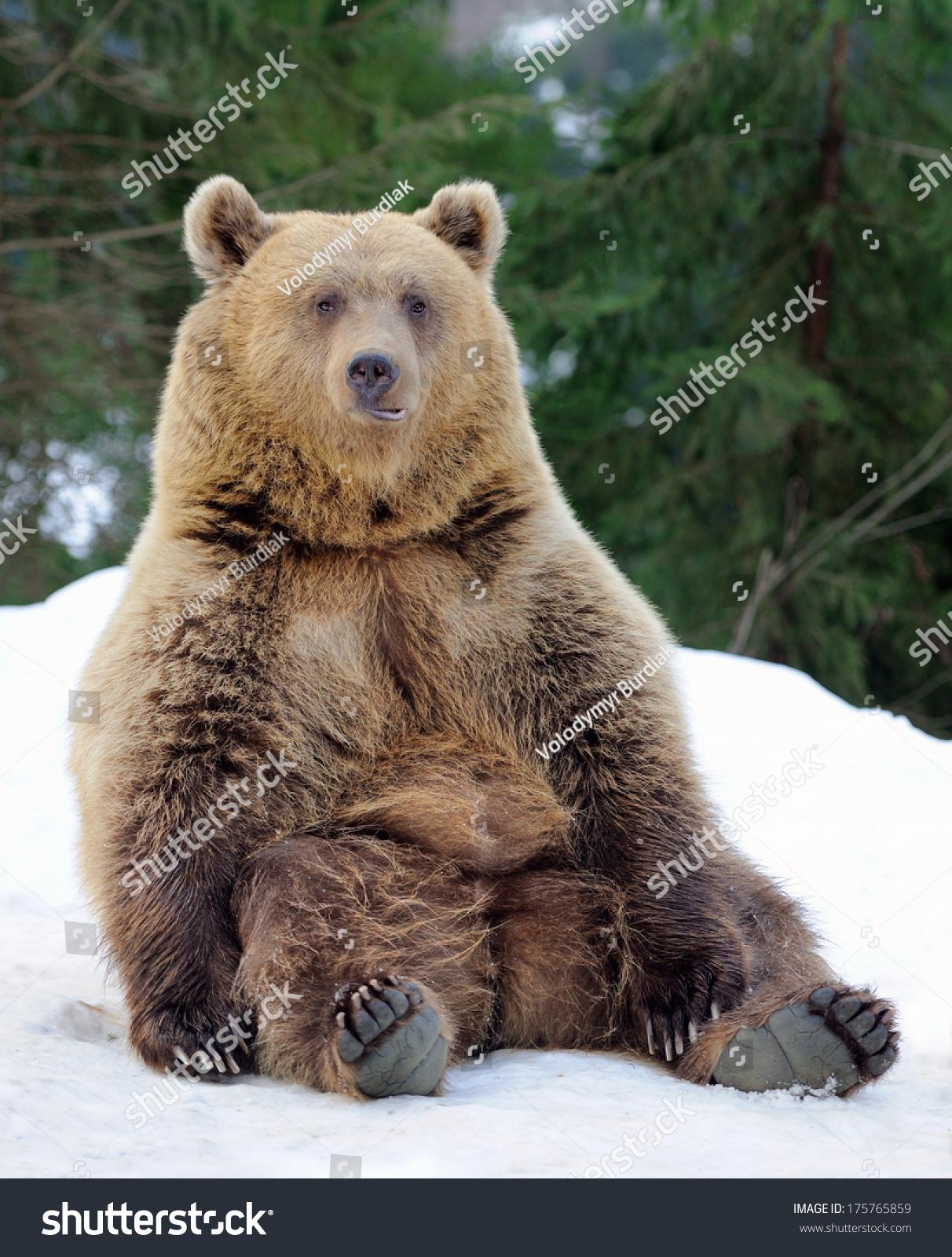 bear winter forest stock photo 175765859 shutterstock. Black Bedroom Furniture Sets. Home Design Ideas