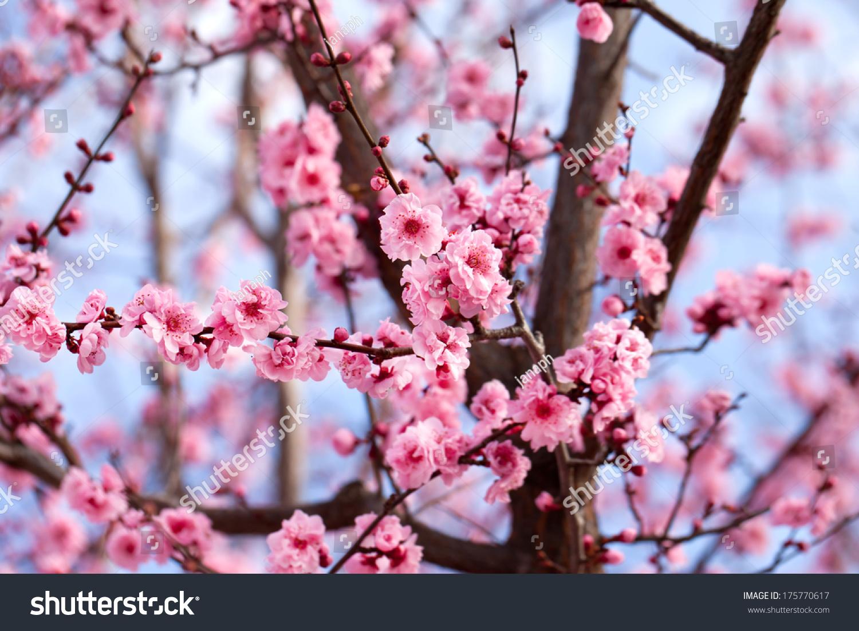 Blossoming cherry tree branch stock photo 175770617 shutterstock - Romanian cherry tree varieties ...