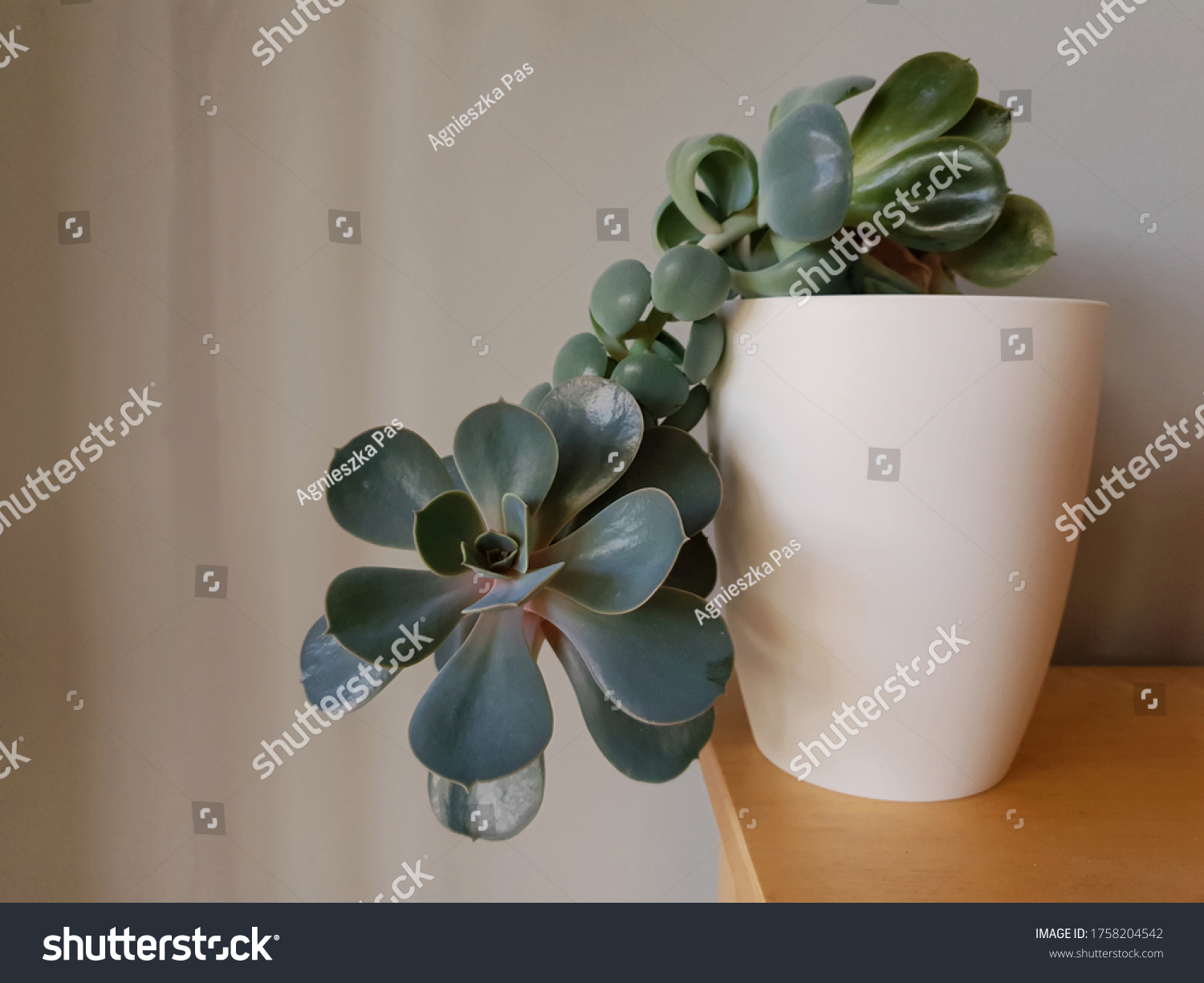 stock-photo-echeveria-plant-echeveria-gi