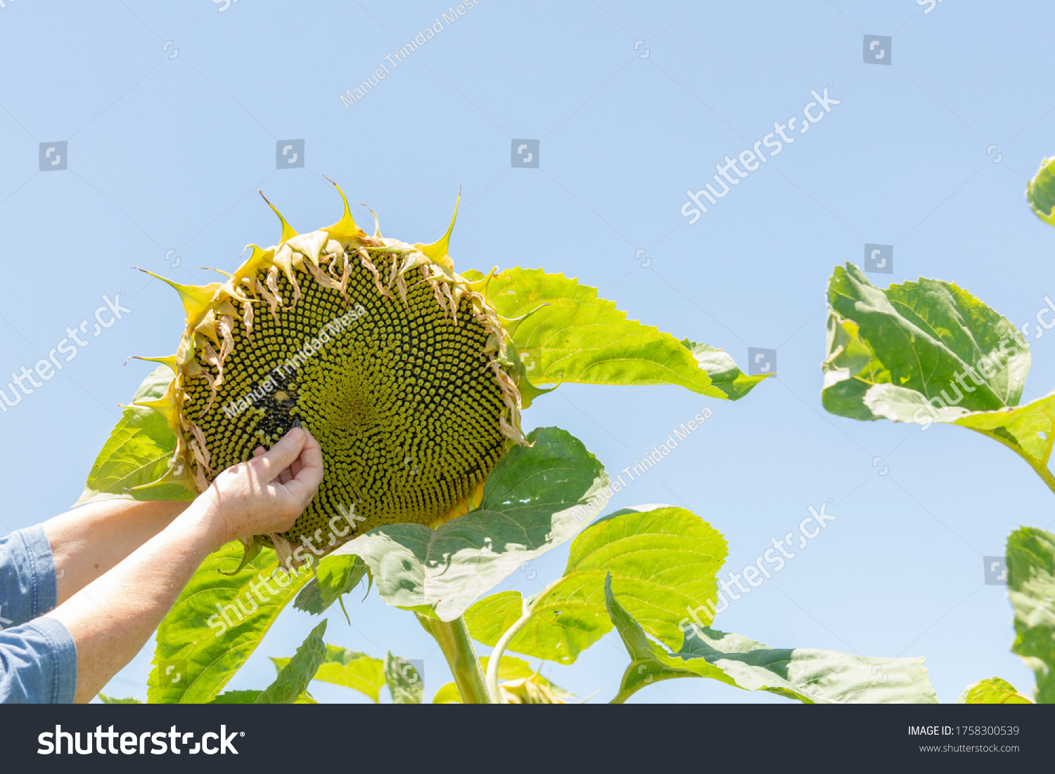 stock-photo-sunflower-plant-to-make-oil-