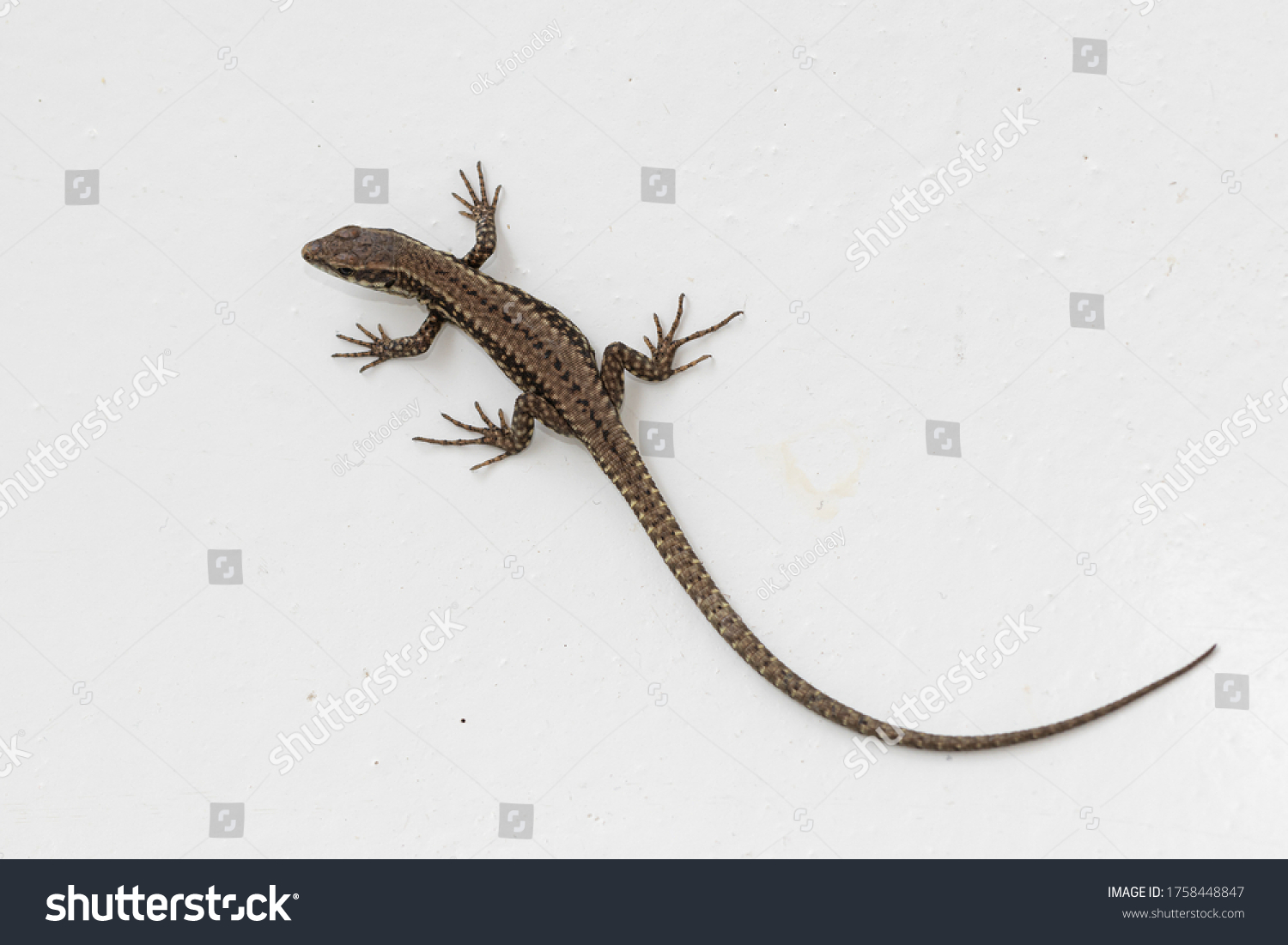stock-photo-common-lizard-lat-lacerta-ag