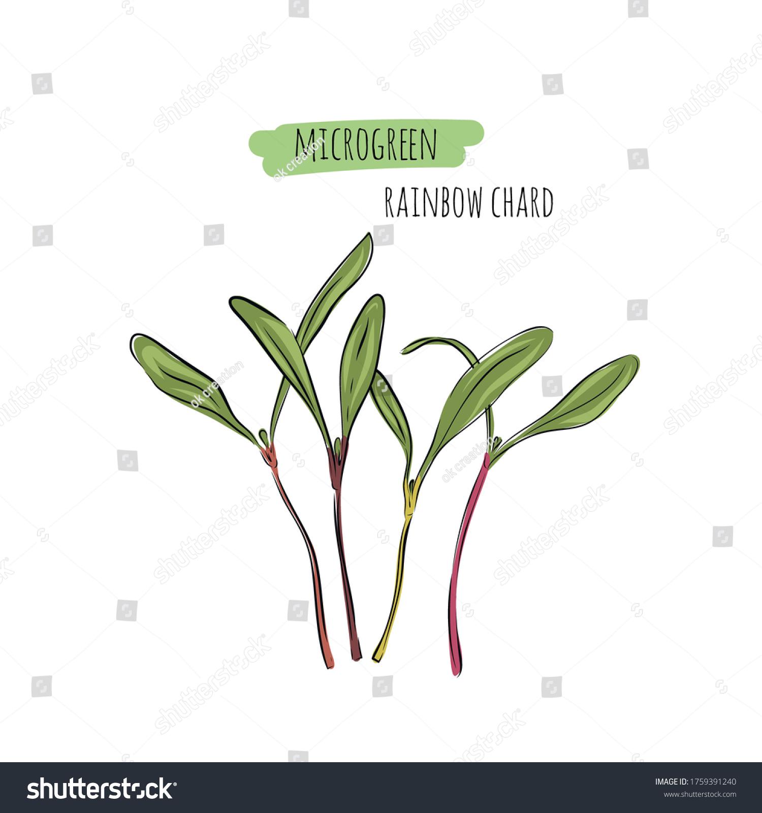 Hand Drawn Rainbow Chard Micro Greens Stock Vector Royalty Free 1759391240