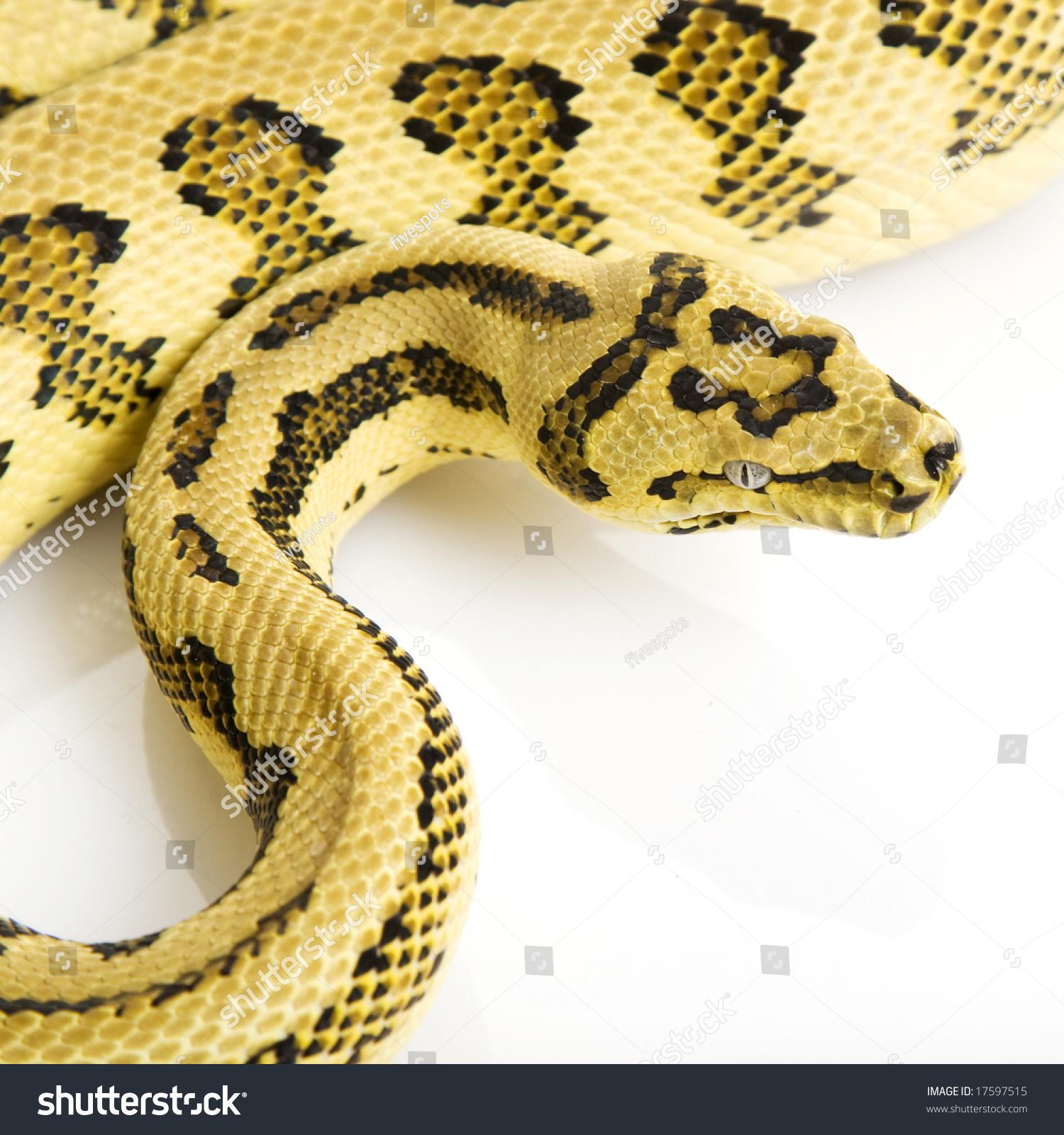 Jungle Jaguar Carpet Python (Morelia spilota variegata) on white background.