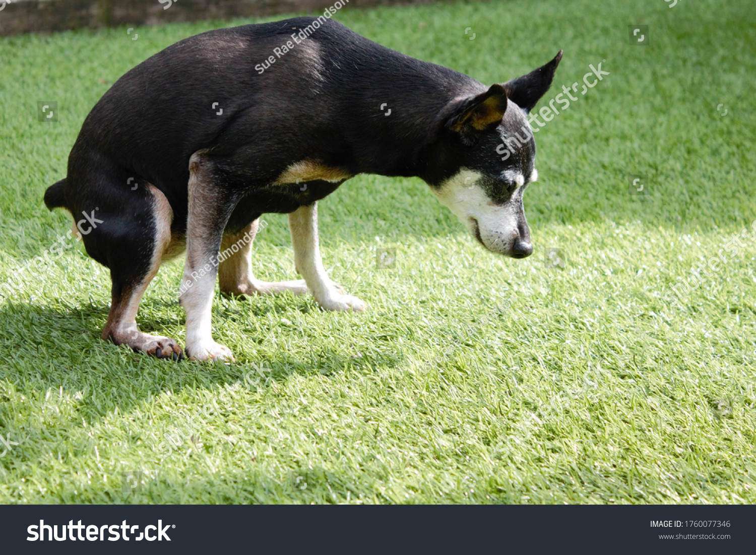 stock-photo-old-female-dog-relieving-its