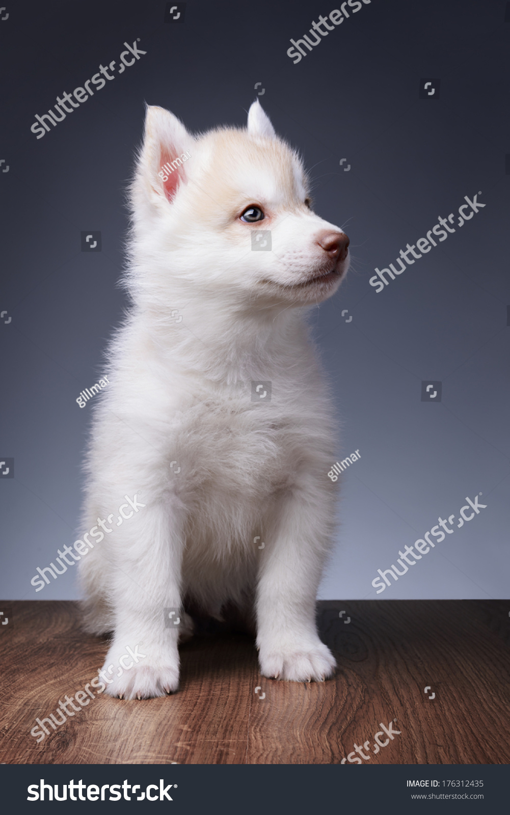 Cute Little Puppy Of Syberian Husky In Studio Ez Canvas