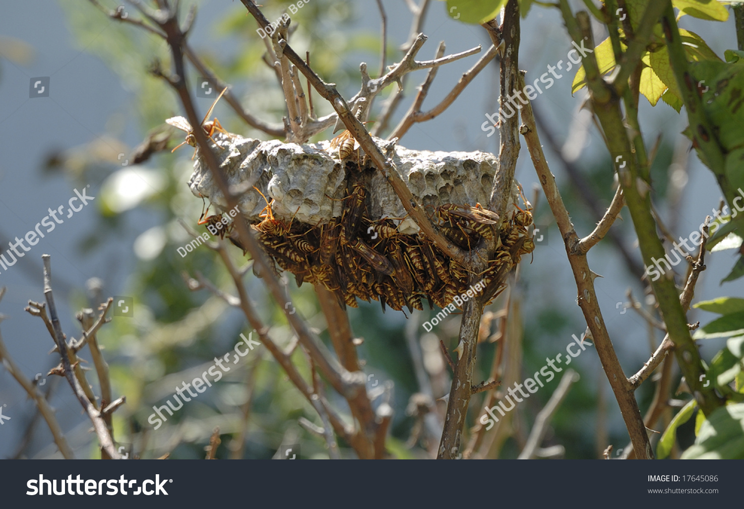 Yellow Jackets Nest Attached Branch Rose Stock Photo 17645086 ...