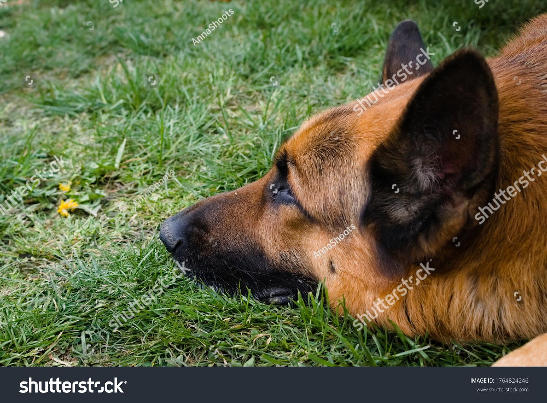 stock-photo-sleepy-dog-beautiful-german-