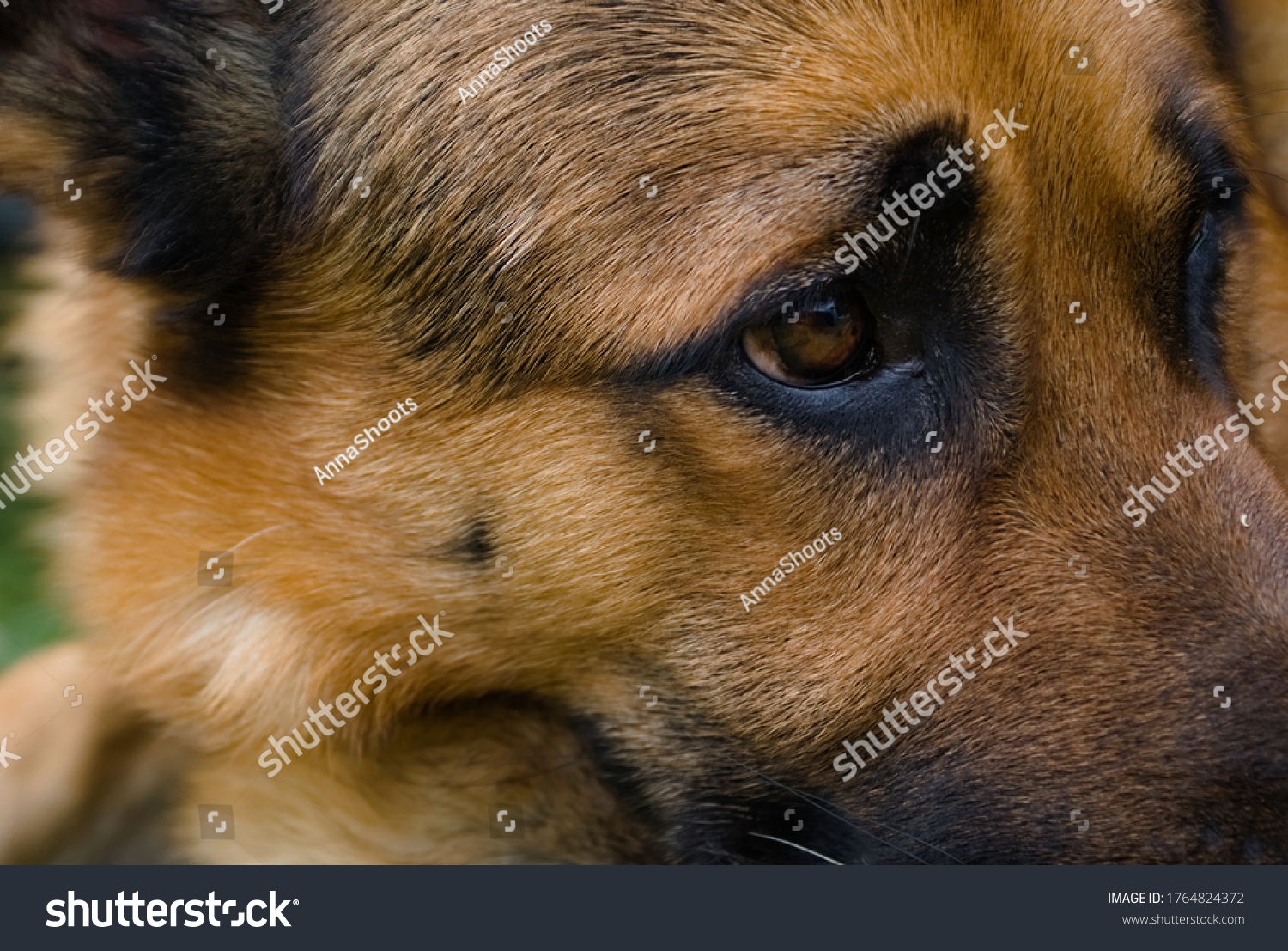 stock-photo-beautiful-brown-german-sheph