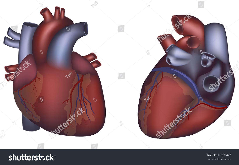 Human Heart Anatomy On White Background Stock Illustration 176506472