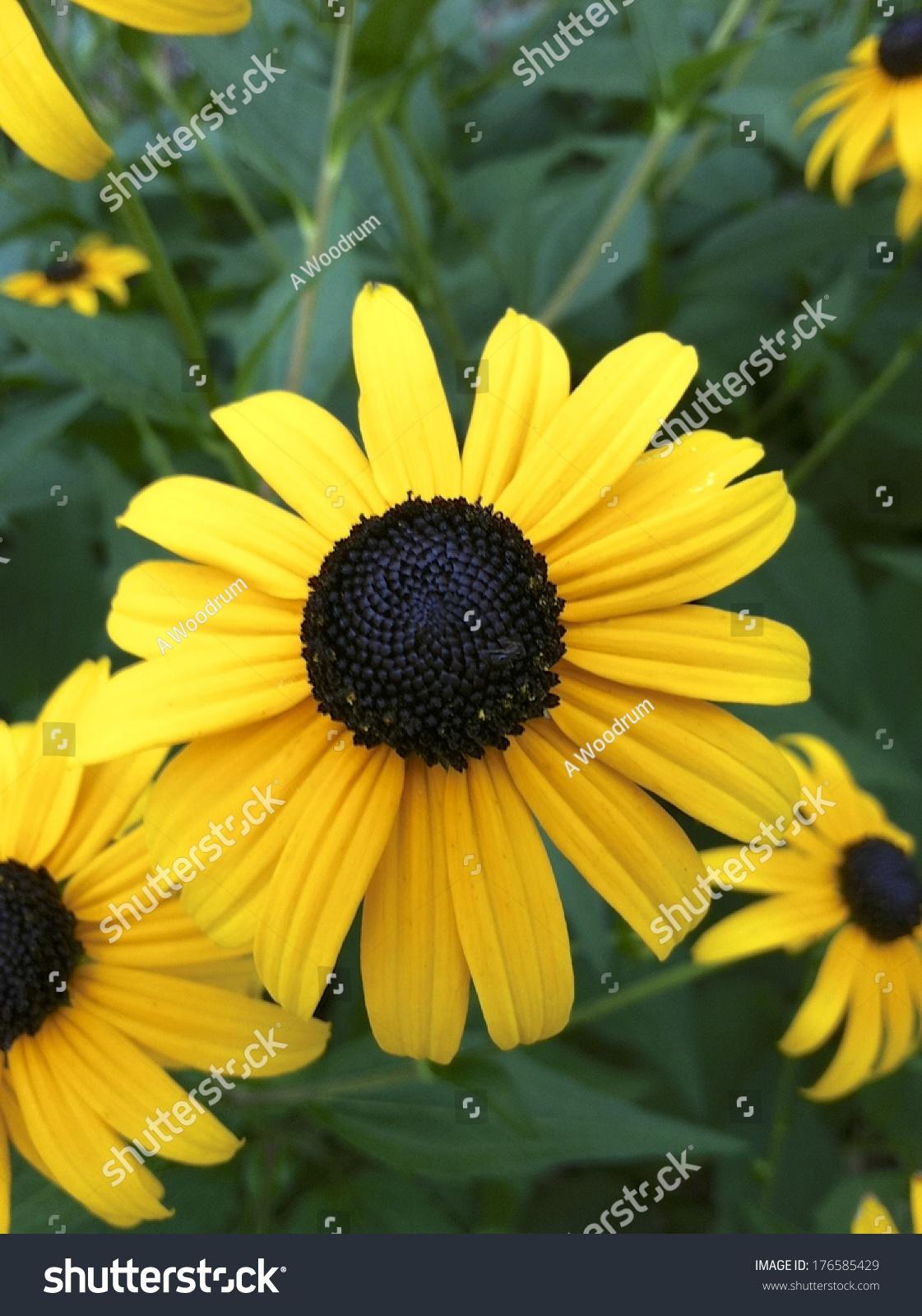 Black Eyed Susan Rudbeckia Hirta Yellow Flower Stock Photo Edit Now