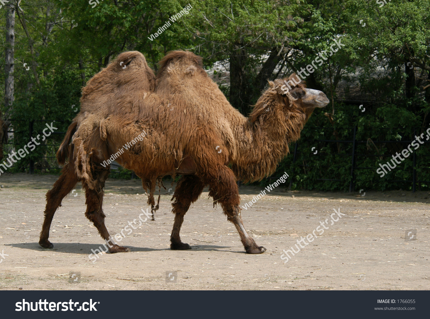 Bactrian Two Humped Camel Also Known As A Camelus Bactrianus