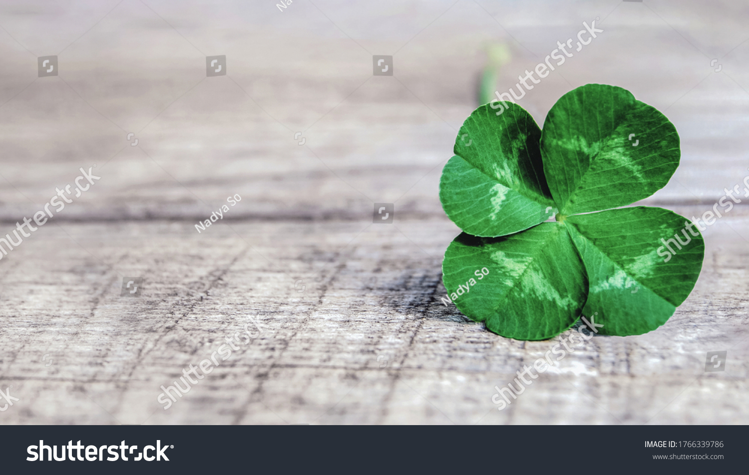 four-leaf clover on gray background, authentic green shamrock with four leaves on old grey wood #1766339786