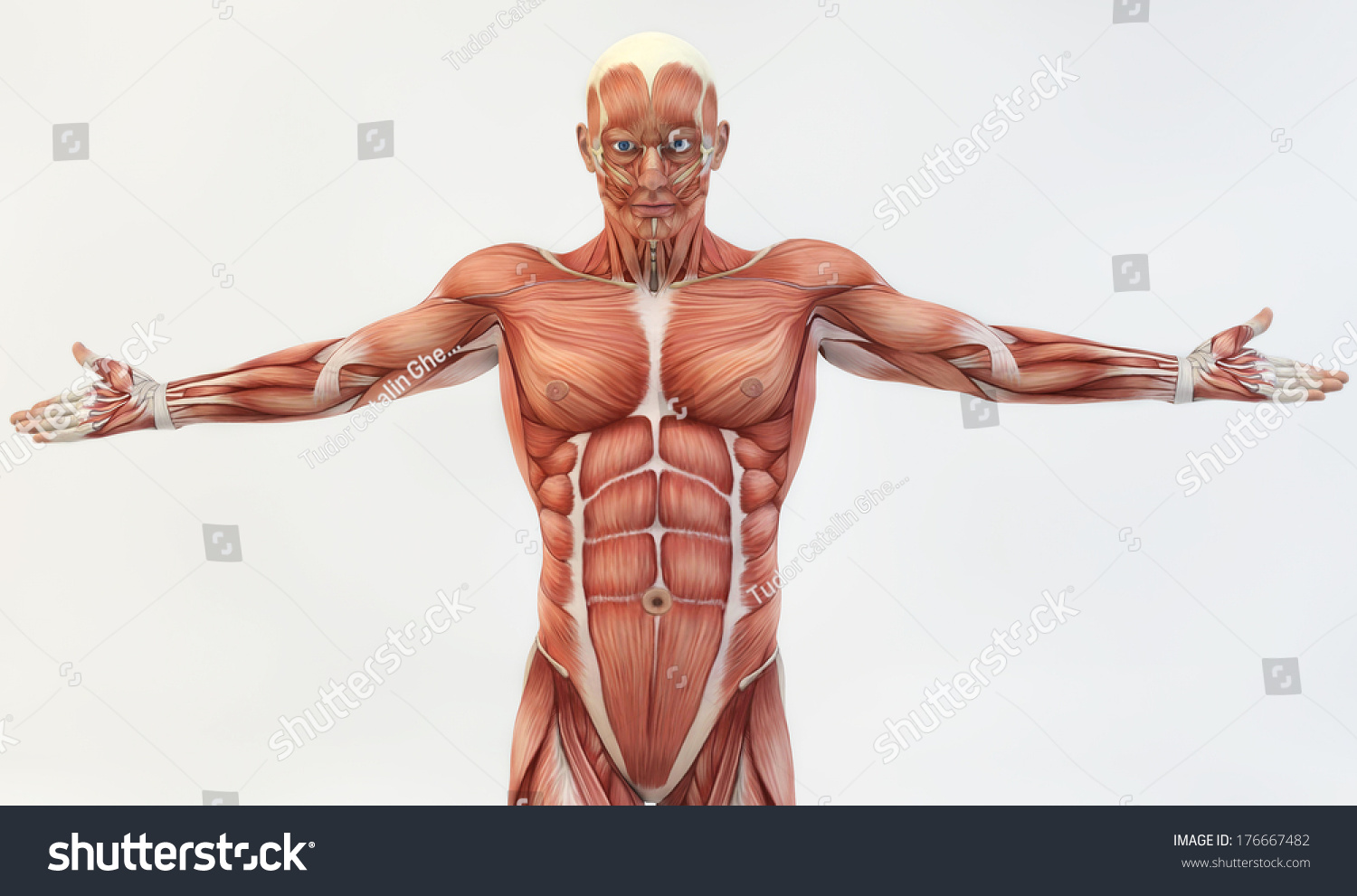 Male Muscle Anatomy Stock Illustration 176667482 Shutterstock