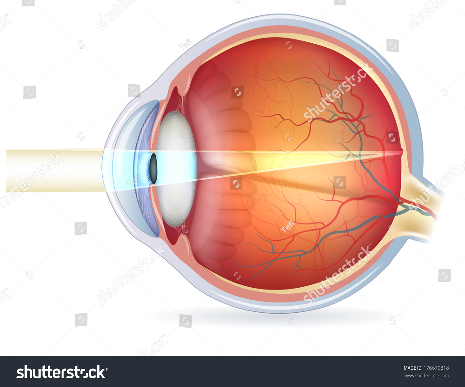 Anatomy Eye Cross Section View Fundus Stock Vector 176679818 ...