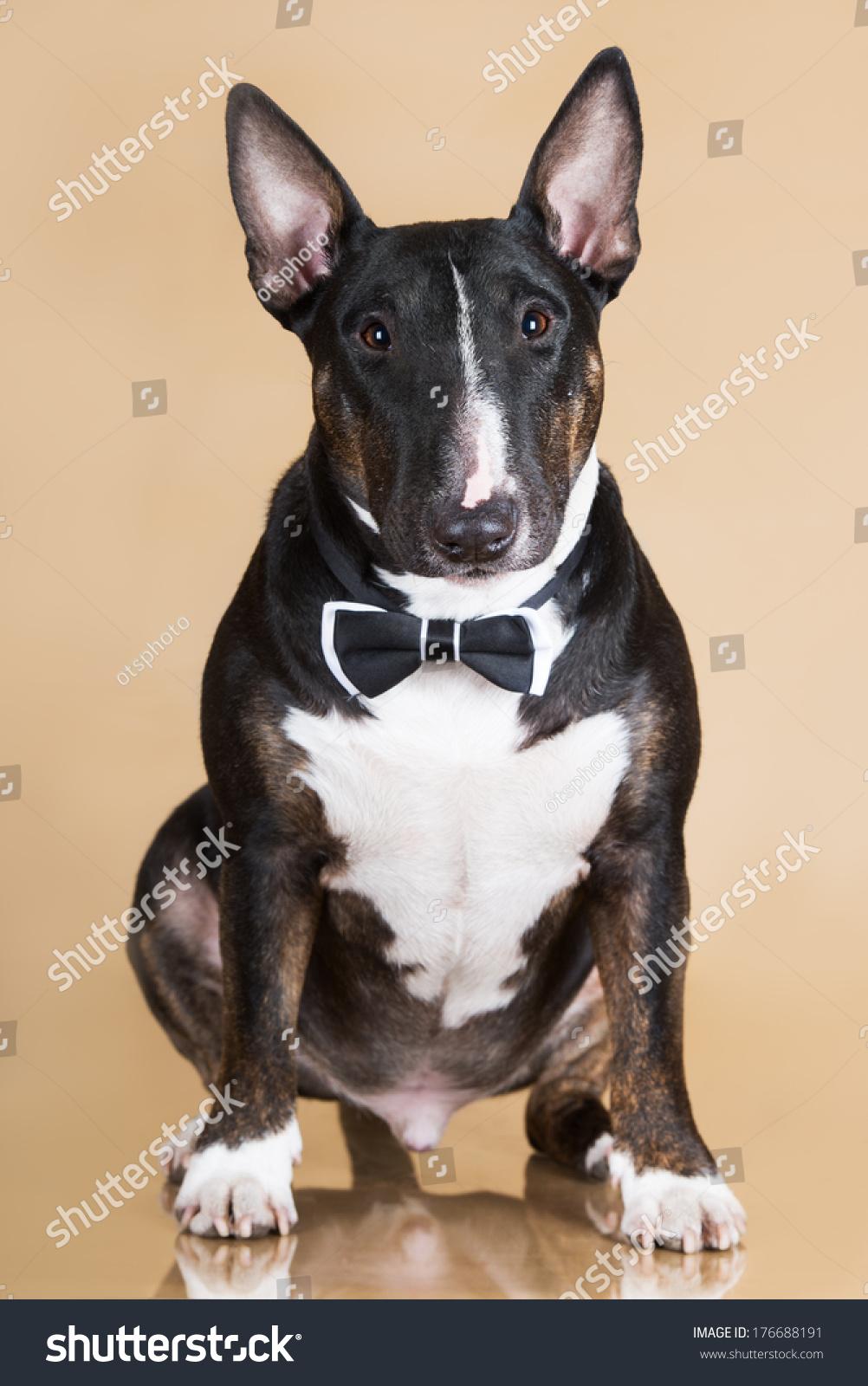 english bull terrier dog bow tie stock photo 176688191 shutterstock