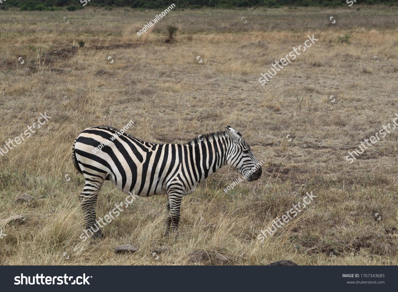 African safari in Kenya wildlife #1767343685