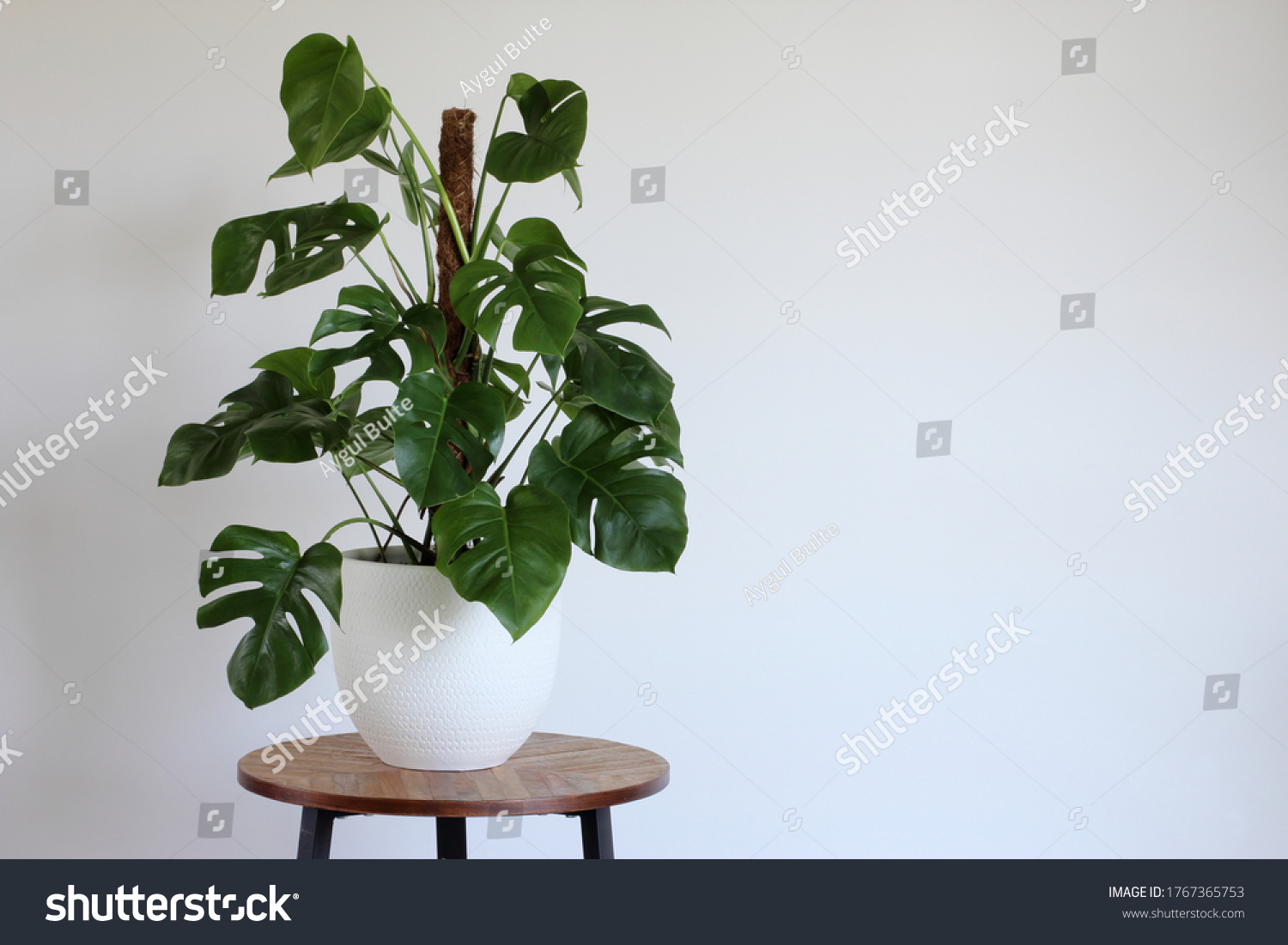 Green monstera. Swiss cheese plant potted in white pot isolated on a wooden table in the room  with white wall, copy space. Day light. #1767365753