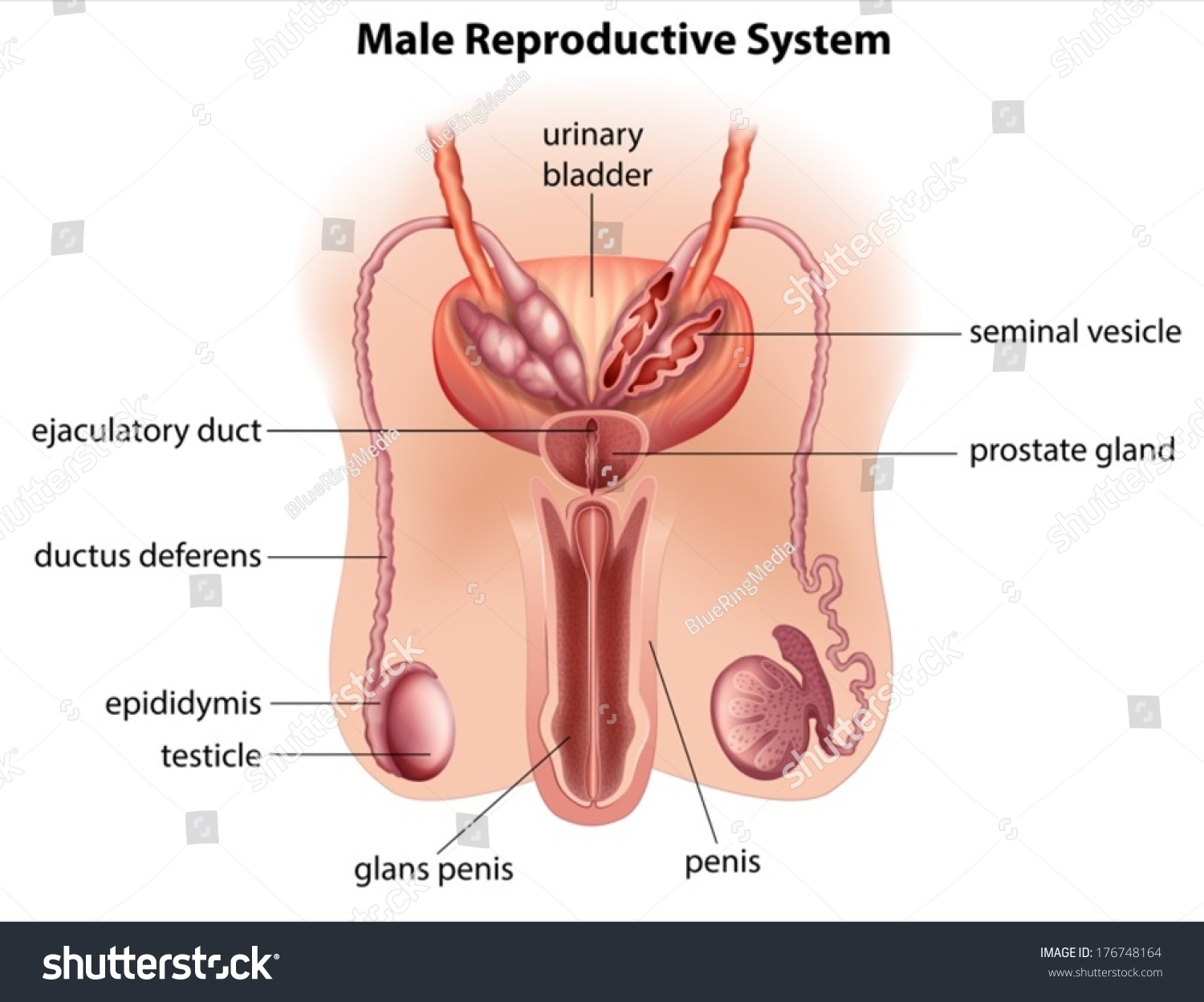 Illustration Anatomy Male Reproductive System On Stock Vector