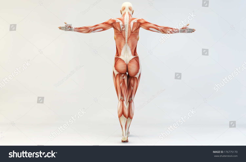 Female Muscle Anatomy Stock Illustration 176775170 Shutterstock